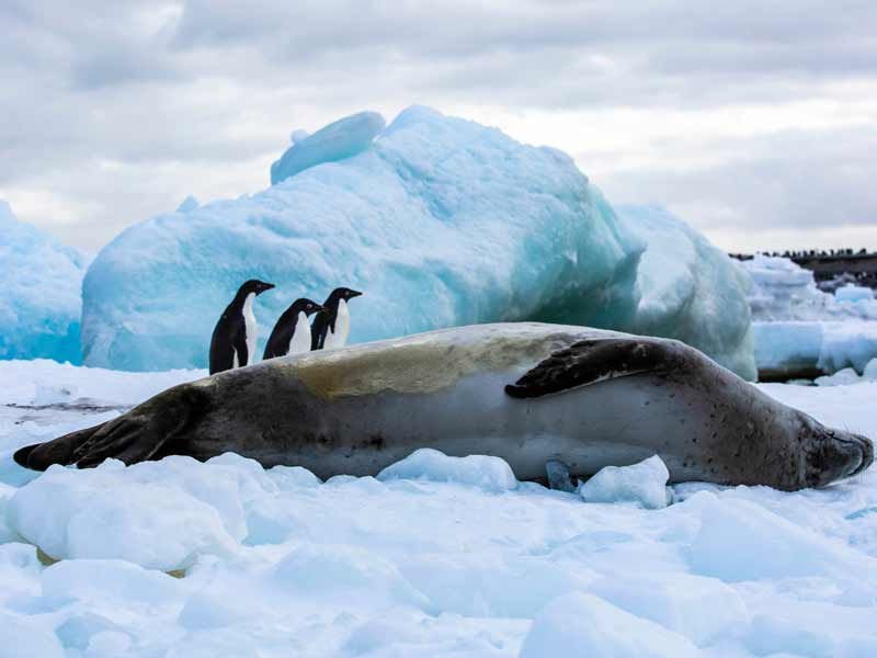 Penguins and seal near cape hallat