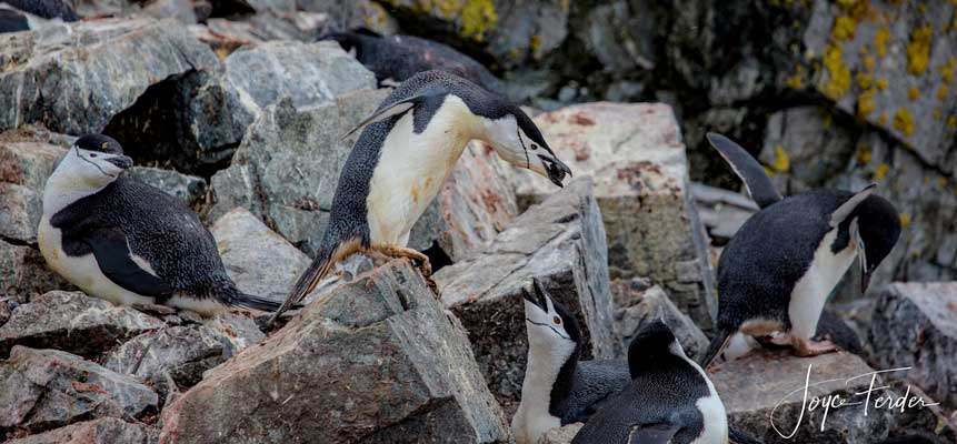 Penguins on rock at Chinstrap