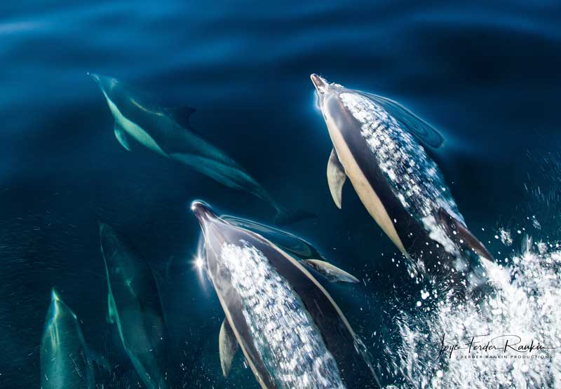 Pod of dolphins swimming in blue water