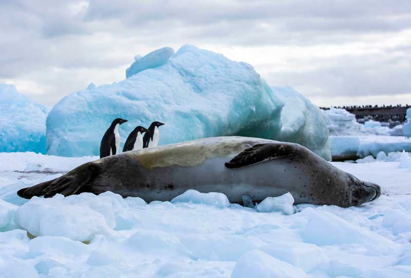 Seal and penguins on Cape Hallat