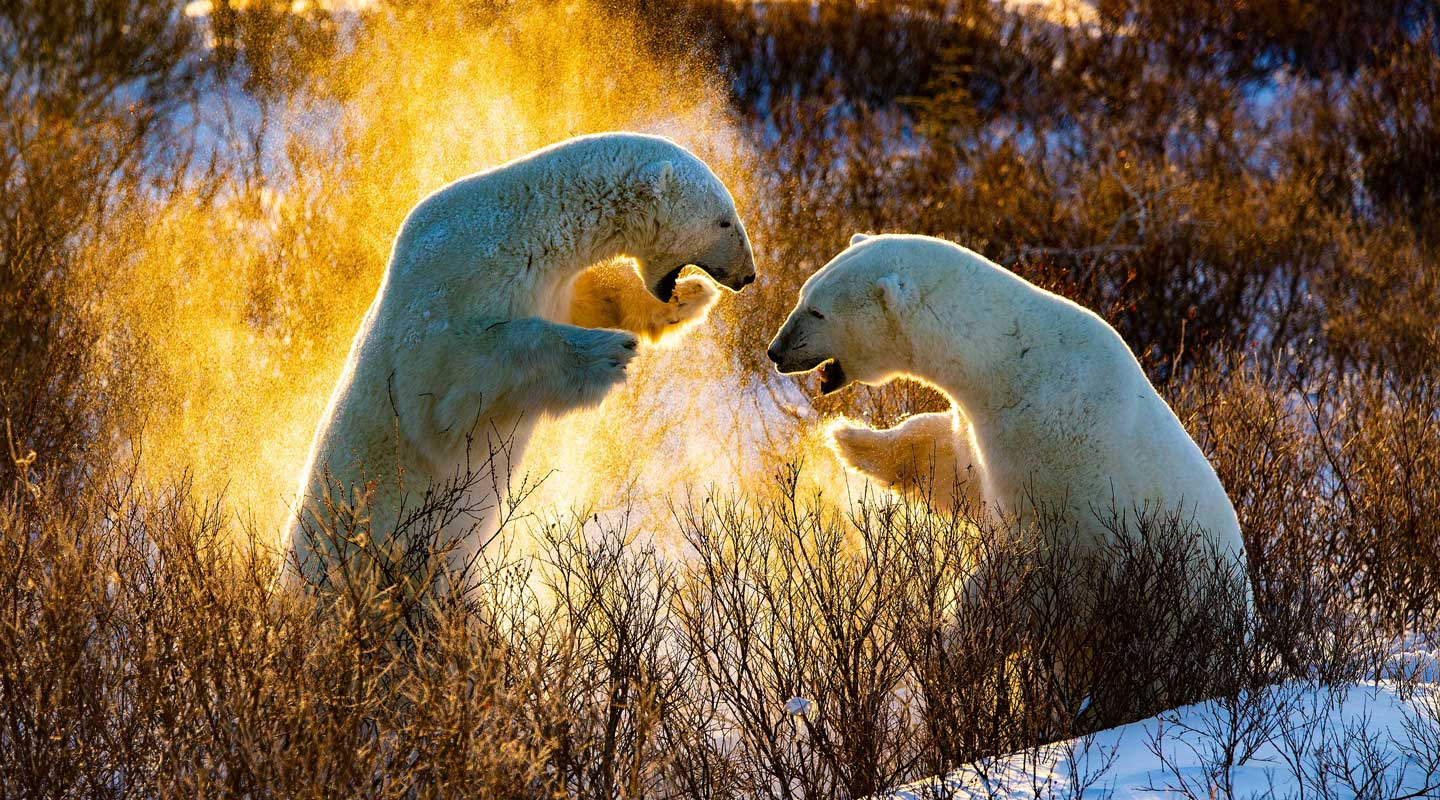 Fire polar bears